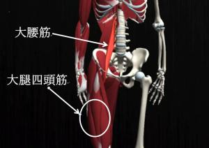 大腰筋と大腿四頭筋